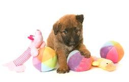 Puppy belgian shepherd dog laekenois Stock Photography