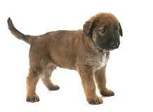 Puppy belgian shepherd dog laekenois Royalty Free Stock Photography