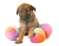 Puppy belgian shepherd dog laekenois Stock Images