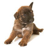 Puppy belgian shepherd dog laekenois Royalty Free Stock Photos
