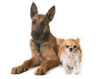 Puppy belgian shepherd laekenois and chihuahua. In front of white background Royalty Free Stock Photo