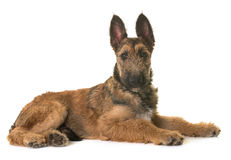 Puppy belgian shepherd laekenois. In front of white background stock images