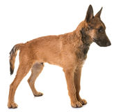 Puppy belgian shepherd laekenois. In front of white background Stock Photo