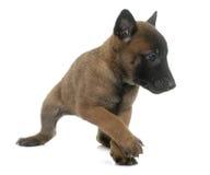 Puppy belgian shepherd malinois Stock Images