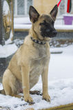 Puppy Belgian shepherd. `Malinois` walks in the Park during a snowfall. It is winter time Royalty Free Stock Image