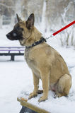 Puppy Belgian shepherd. `Malinois` walks in the Park during a snowfall. It is winter time Royalty Free Stock Images