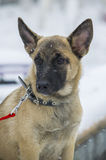 Puppy Belgian shepherd. `Malinois` walks in the Park during a snowfall. It is winter time Stock Image