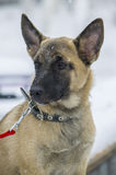 Puppy Belgian shepherd. `Malinois` walks in the Park during a snowfall. It is winter time Royalty Free Stock Photo