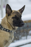 Puppy Belgian shepherd. `Malinois` walks in the Park during a snowfall. It is winter time Stock Photography