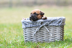 Puppy belgian shepherd malinois. Young puppy belgian shepherd malinois in box Royalty Free Stock Photos
