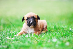 Puppy belgian shepherd malinois. Young puppy belgian shepherd malinois in  field Royalty Free Stock Photography