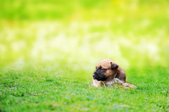 Puppy belgian shepherd malinois. Young puppy belgian shepherd malinois in  field Stock Photo