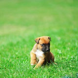 Puppy belgian shepherd malinois Stock Photo