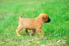 Puppy belgian shepherd malinois. Young puppy belgian shepherd malinois in  field Stock Photos