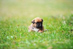 Puppy belgian shepherd malinois Royalty Free Stock Photo