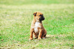 Puppy belgian shepherd malinois Royalty Free Stock Images