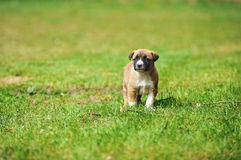 Puppy belgian shepherd malinois Royalty Free Stock Photos