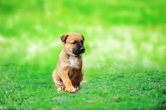 Puppy belgian shepherd malinois. Young puppy belgian shepherd malinois in  field Royalty Free Stock Photos