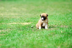 Puppy belgian shepherd malinois. Young puppy belgian shepherd malinois in  field Royalty Free Stock Photo