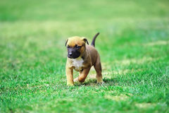 Puppy belgian shepherd malinois. Young puppy belgian shepherd malinois in  field Stock Image