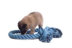 Puppy, Belgian Shepherd Tervuren, playing with rope,  Royalty Free Stock Photos