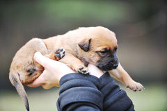 Puppy  belgian shepherds malinois. Woman holding cute puppy  belgian shepherds malinois in hands Stock Photography