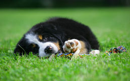 Puppy of the Bern sheepdog. Royalty Free Stock Photos
