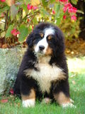Puppy of the Bernese Bouvier Stock Image