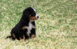 Puppy Bernese Mountain Dog. Adorable Puppy Bernese Mountain Dog on Grass royalty free stock photo