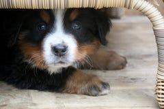 Puppy Bernese Mountain Dog. Adorable Puppy Bernese Mountain Dog Hidden Under a Table Stock Photography