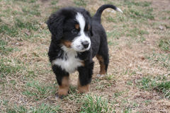 Puppy Bernese Mountain Dog. Adorable Puppy Bernese Mountain Dog on Grass royalty free stock photography
