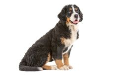 Puppy bernese mountain dog Royalty Free Stock Photo