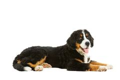 Puppy bernese mountain dog Royalty Free Stock Image