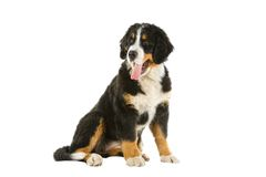 Puppy bernese mountain dog Stock Images