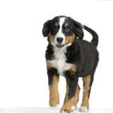 Puppy Bernese mountain dog Stock Photos
