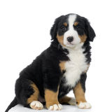 Puppy Bernese mountain dog royalty free stock images