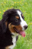 Puppy Bernese mountain dog Stock Photo