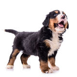 Puppy Bernese Mountain Dog Stock Photography