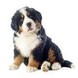 Puppy bernese moutain dog Stock Photos