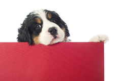 Puppy bernese moutain dog in a box Stock Photos