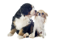 Puppy bernese moutain dog and chihuahua Royalty Free Stock Photography