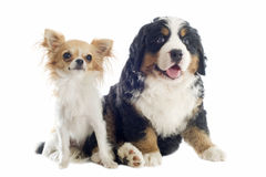 Puppy bernese moutain dog and chihuahua Royalty Free Stock Image