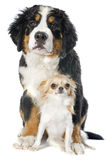 Puppy bernese moutain dog and chihuahua Royalty Free Stock Images
