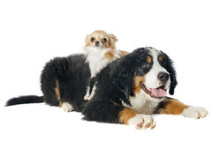 Puppy bernese moutain dog and chihuahua Stock Photography
