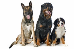 Puppy bernese moutain dog, malinois and rottweiler. Portrait of a purebred bernese mountain dog, malinois and rottweiler in front of white background Stock Photo