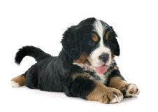 Puppy bernese moutain dog Stock Photography