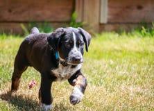 Puppy in beweging Royalty-vrije Stock Fotografie