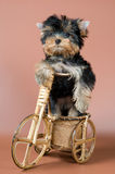 Puppy on the bicycle Royalty Free Stock Photography