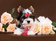 Puppy of a Biewer Yorkshire Terrier stock image