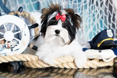 Puppy  terrier sailor stock photo